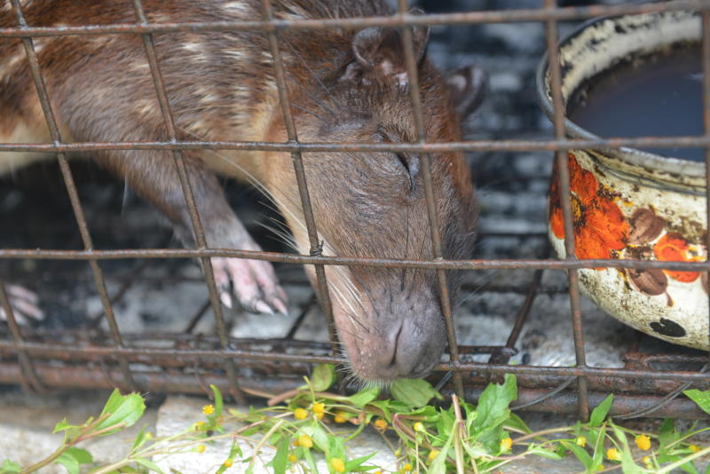 In this Dec. 27, 2013 photo, a lappe, a raccoon-sized rodents whose meat is known to go for $19 per pound, pokes it's nose through the bars of a trap set by a poacher in the rural village of Toco in northern Trinidad. The twin-island country of Trinidad and Tobago, at least on paper, has transformed the southernmost island nation of the Caribbean into a no-trapping, no-hunting zone for about two years to give overexploited game animals some breathing room and to conduct wildlife surveys. But poachers are continuing to hunt creatures such as deer, armadillo and lappe. (AP Photo/David McFadden)