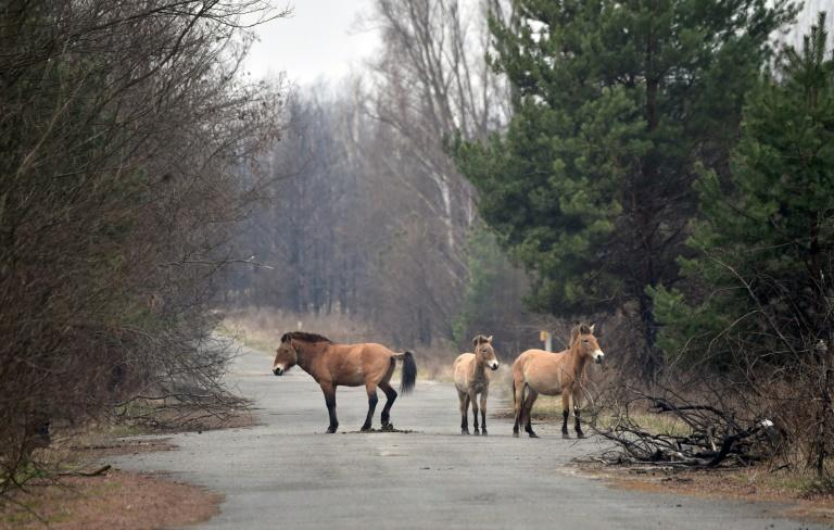 Przewalski's horses were at one time extinct in the wild but are now thriving in Chernobyl