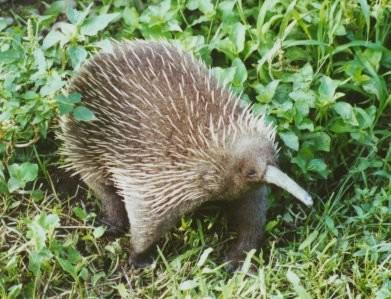 he long-beaked echidna, with its unmissable snout, is the oldest living mammal in the world. Usually found in Papua New Guinia, it is considered critically endangered as there are currently three living species of echidna and two which have become extinct. (Picture: Wikipedia)