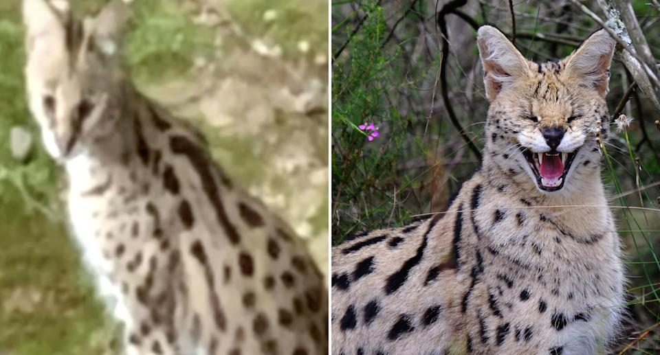 African servals are pictured.