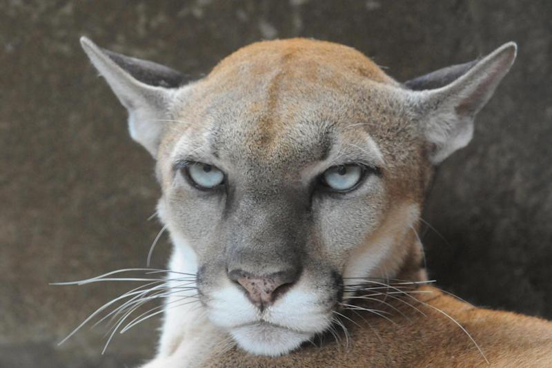There are reports of other mountain lion sightings in the area: AFP via Getty Images