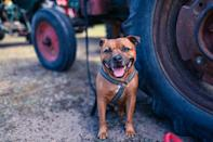 <p>Don't judge this breed by its small size. Staffordshire Bull Terriers are descended from the fighters in England's dog fighting pits, and they still have that fighting spirit! </p>