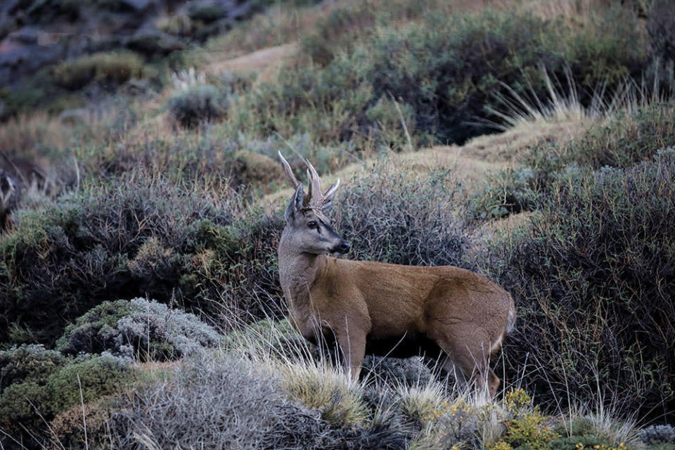 Endangered and rarely sighted, the huemul is part of Chile's national coat of arms.