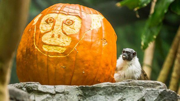 PHOTO: A pied tamarin posed next to a carved pumpkin at the Lincoln Park Zoo in Chicago. (Todd Rosenberg Photography)