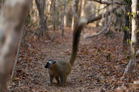 A red-fronted brown lemur is seen at the Kirindy forest reserve near the city of Morondava