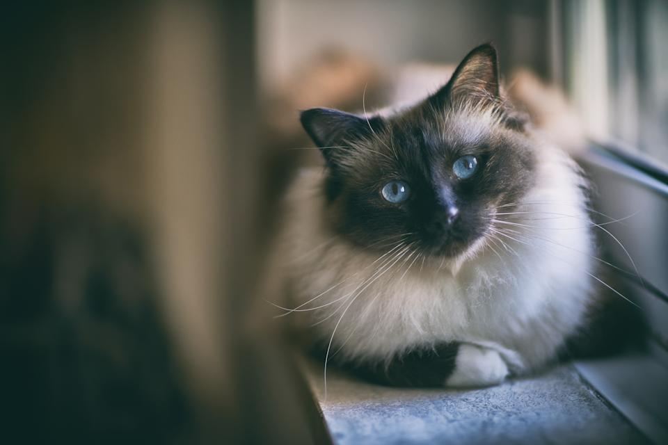 Portrait of birman cat