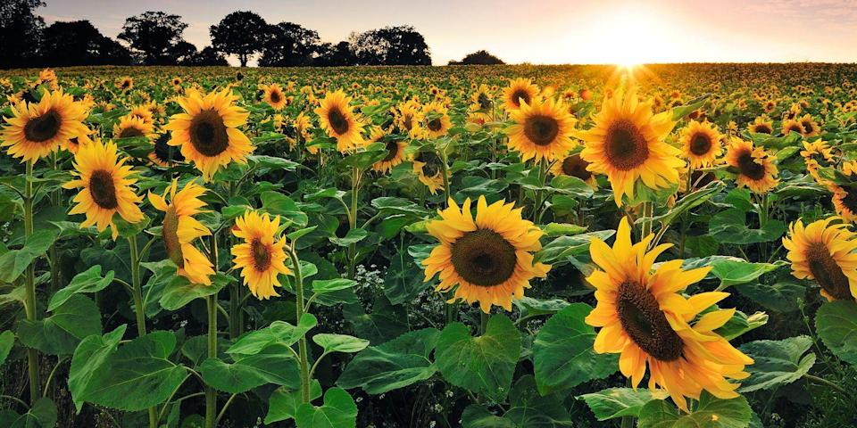 """<p>Organized and managed by the local Lyndon Leaders 4H Club, this sunflower field in Lyndon, Kansas, is open to visitors for photos and flower picking. Donations are accepted on site and are often donated to local charities, making this attraction well worth the visit.</p><p><a class=""""link rapid-noclick-resp"""" href=""""https://go.redirectingat.com?id=74968X1596630&url=https%3A%2F%2Fwww.tripadvisor.com%2FTourism-g38871-Lyndon_Kansas-Vacations.html&sref=https%3A%2F%2Fwww.countryliving.com%2Flife%2Ftravel%2Fg21937858%2Fsunflower-fields-near-me%2F"""" rel=""""nofollow noopener"""" target=""""_blank"""" data-ylk=""""slk:PLAN YOUR TRIP"""">PLAN YOUR TRIP</a></p>"""