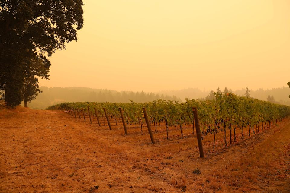 An orange smoke-filled sky is seen above a vineyard in Molalla, Oregon, on September 10, 2020, as fires burn nearby. - California firefighters battled the state's largest ever inferno on September 10, as tens of thousands of people fled blazes up and down the US West Coast and officials warned the death toll could shoot up in coming days. At least eight people have been confirmed dead in the past 24 hours across California, Oregon and Washington, but officials say some areas are still impossible to reach, meaning the number is likely to rise. (Photo by Deborah BLOOM / AFP) (Photo by DEBORAH BLOOM/AFP via Getty Images)