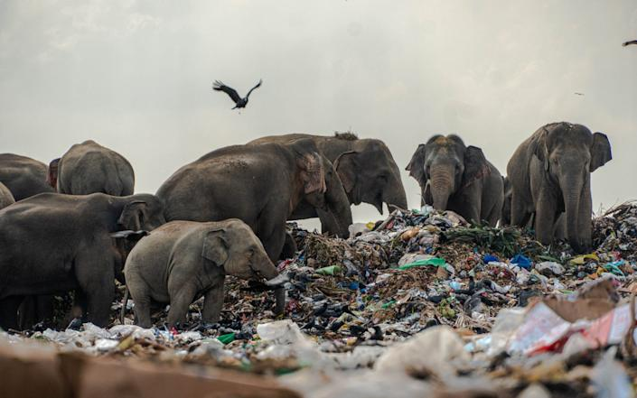 Postmortems have shown the elephants have plastic products in their stomachs - Tharmaplan Tilaxan/Cover Images