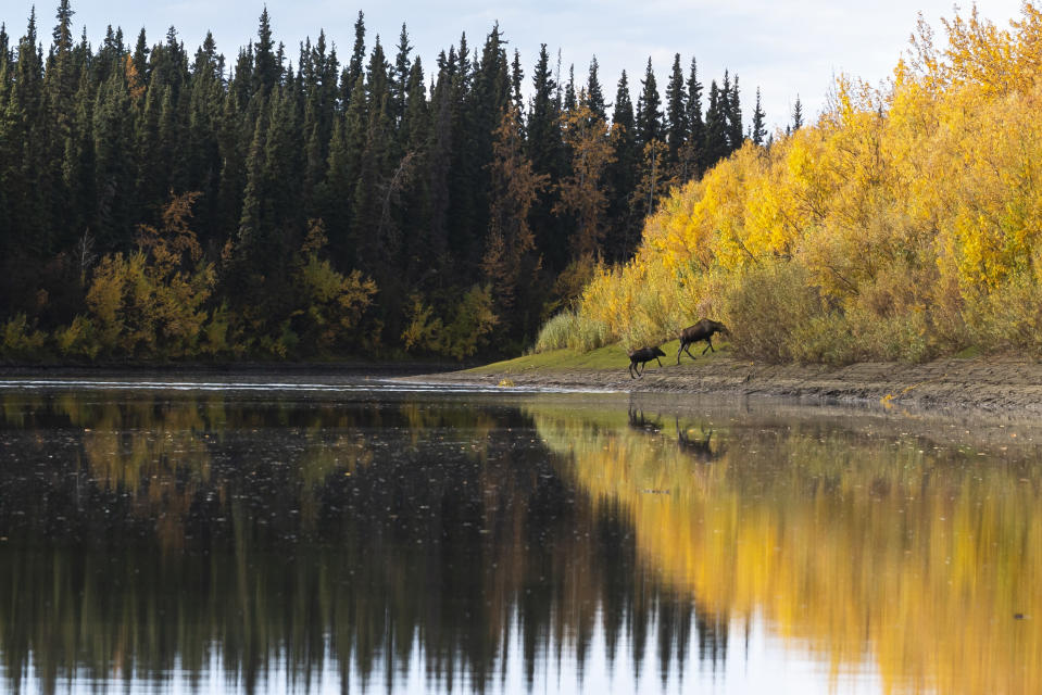 A cow, calf moose pair exit the water of the Yukon River on Wednesday, Sept. 15, 2021, near Stevens Village, Alaska. For the first time in memory, both king and chum salmon have dwindled to almost nothing and the state has banned salmon fishing on the Yukon. The remote communities that dot the river and live off its bounty are desperate and doubling down on moose and caribou hunts in the waning days of fall. (AP Photo/Nathan Howard)