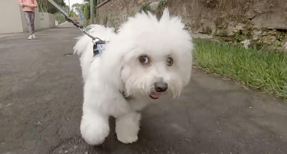 Monty the Maltese terrier walks with his owner down the street.