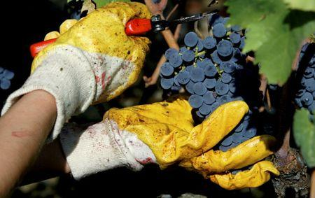 FILE PHOTO: A grape-picker cuts a bunch of Sangiovese grapes during the harvest at the Biondi Santi vineyard in the Val d'Orcia, close to the Tuscan town of Montalcino in central Italy September 22, 2004. REUTERS/Max Rossi/File Photo