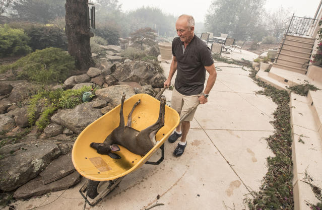 <p>Jim Hanks uses a wheelbarrow to remove a fawn he found in the backyard pond of his Fountaingrove home, one of the only homes on the block that survived the Monday morning inferno on Oct. 10, 2017 in Santa Rosa, Calif. (Photo: Brian van der Brug/Los Angeles Times via Getty Images) </p>