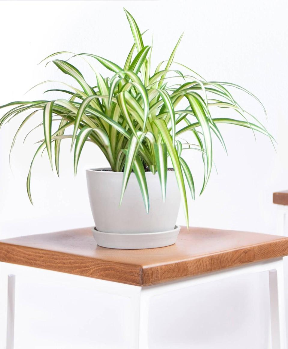 """<p>I have always wanted to test out Bloomscape, so I bought this <a href=""""https://www.popsugar.com/buy/Potted-Spider-Plant-424957?p_name=Potted%20Spider%20Plant&retailer=bloomscape.com&pid=424957&price=35&evar1=casa%3Aus&evar9=47486578&evar98=https%3A%2F%2Fwww.popsugar.com%2Fphoto-gallery%2F47486578%2Fimage%2F47486771%2FBloomscape-Potted-Spider-Plant&list1=shopping%2Cfurniture%2Ceditors%20pick%2Capartments%2Chome%20decorating%2Csmall%20space%20living%2Capartment%20living%2Cdecor%20shopping%2Chome%20shopping%2Cat%20home%20with%20popsugar&prop13=api&pdata=1"""" class=""""link rapid-noclick-resp"""" rel=""""nofollow noopener"""" target=""""_blank"""" data-ylk=""""slk:Potted Spider Plant"""">Potted Spider Plant</a> ($35) and it arrived to my house ready to go. The packaging was easy to open and there were helpful care instructions inside.</p>"""