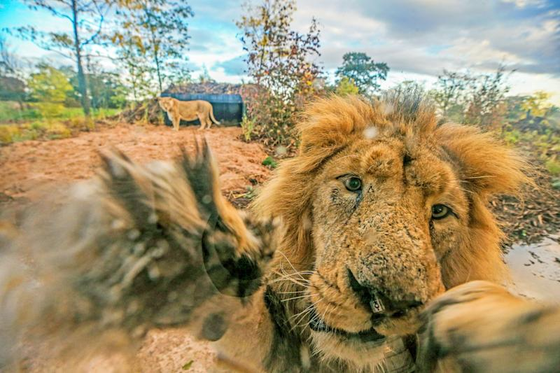 Lblis, a male Asiatic Lion, makes faces at photographer Peter Byrne through a window of the new lion habitat at Chester Zoo, Cheshire. (Photo by Peter Byrne/PA Images via Getty Images)