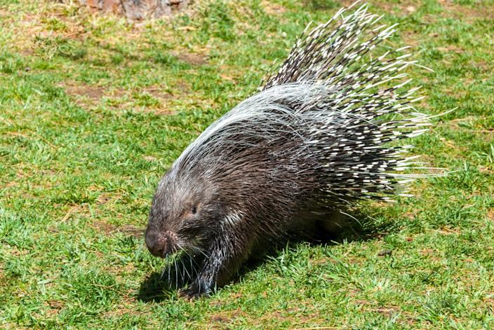 Maine police officers get jail time for beating porcupines to death while on-duty (Getty Images/iStockphoto)