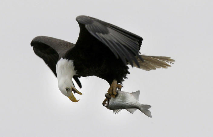 <p>A bald eagle holds a fish taken from the Haw River below Jordan Lake in Moncure, N.C. Jordan Lake, a 14,000-acre reservoir in the Triangle Region of the state is home to a dozen or more pairs of nesting bald eagles, an. 28, 2016. (AP Photo/Gerry Broome) </p>
