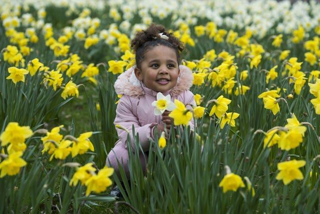 Tallulah-Monroe Fabiola plays in a patch of daffodils