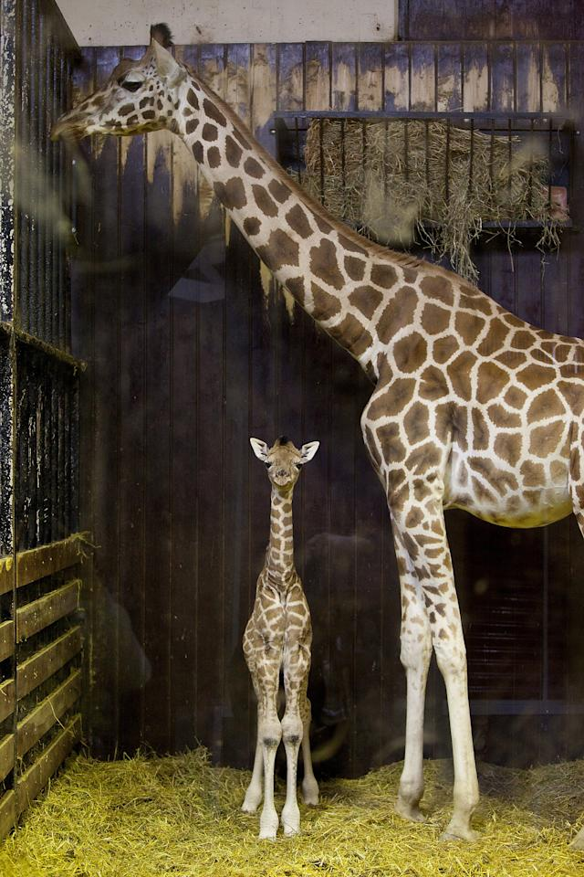 A three day old new born giraffe stays indoors with its mother on April 11, 2012 in Madrid, Spain. Tatu, a Rothschildi Giraffe, gave birth on April 8 at the Zoo Aquarium of Madrid.  (Photo by Pablo Blazquez Dominguez/Getty Images)