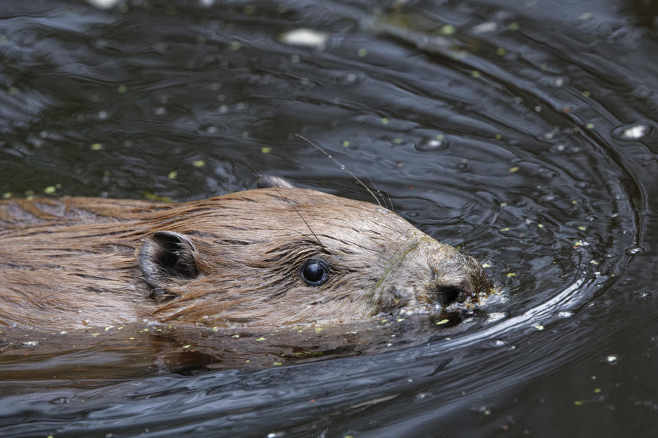Beaver swimming in its new pond home