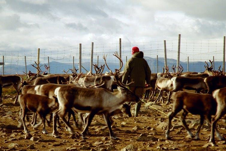 A man navigates a herd of reindeer with a fence in the background.