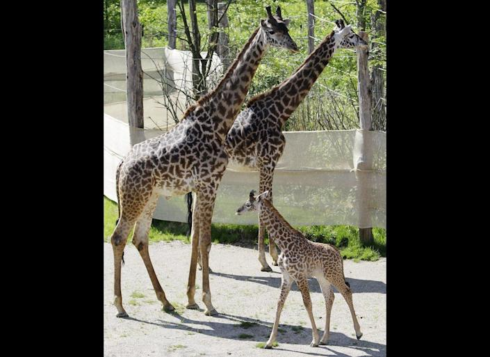 Zuri, a one-month old giraffe, walks past her parents in their outdoor yard at the Cincinnati Zoo, Thursday, May 5, 2011 in Cincinnati. Zuri was making her first appearance outside at the zoo.