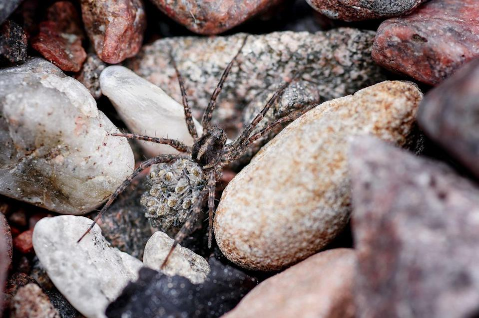 <p>She may appear more menacing than maternal, but the female wolf spider (Pardosa amentata) is the exception of her species. Unlike other arachnids – infamous for dubious parenting practices – the wolf spider is a truly vigilant mother. Keeping her brood safe within a silken sac attached to 'spinnerets' on her abdomen, she carries her clutch wherever she goes. Once hatched, spiderlings scurry up her legs and hitch a ride on her hind. After a few days, the youngsters are ready to go it alone, spinning silken 'parachutes' before floating away on the breeze. </p>