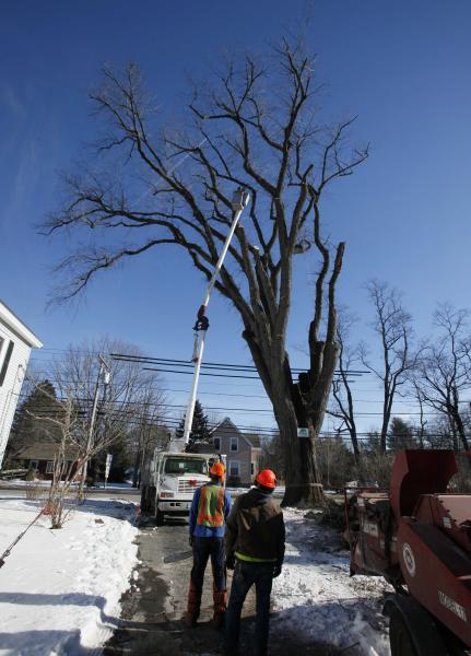 """FILE - In this Jan. 14, 2010 file photo, an arborist in a cherry picker cuts limbs from a massive elm tree, nicknamed Herbie, in Yarmouth, Maine. The tree, estimated to be 217 years old, was cut down Jan. 19, 2010 after suffering numerous bouts of Dutch elm disease. """"Herbie"""" may be gone, but he'll live on in cloned trees that are now being made available to the public. (AP Photo/Robert F. Bukaty, File)"""