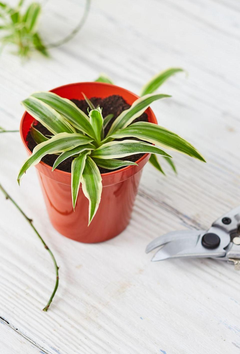 """<p><a class=""""link rapid-noclick-resp"""" href=""""https://www.amazon.com/Ocean-Spider-Plant-Easy-Cleans/dp/B00482TD04/?tag=syn-yahoo-20&ascsubtag=%5Bartid%7C10057.g.3716%5Bsrc%7Cyahoo-us"""" rel=""""nofollow noopener"""" target=""""_blank"""" data-ylk=""""slk:BUY NOW"""">BUY NOW</a> <strong><em>$12, amazon.com</em></strong></p><p>Since these plants prefer to dry out <a href=""""http://www.gardeningknowhow.com/houseplants/spider-plant/spider-plant-care-gardening-tips-for-spider-plants.htm"""" rel=""""nofollow noopener"""" target=""""_blank"""" data-ylk=""""slk:between waterings"""" class=""""link rapid-noclick-resp"""">between waterings</a>, you can usually go a few days between sessions. They also like indirect light, so they'll flourish even if you have a dark, windowless office (the actual worst)</p>"""