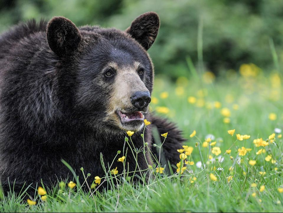 A female Baribal American black bear (AFP via Getty Images)