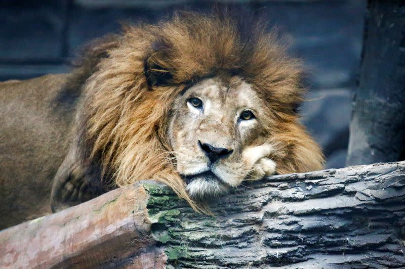 Raja, a 17-year-old African lion,  is seen at a zoo amid the coronavirus disease (COVID-19) outbreak in Bandung, West Java Province, Indonesia