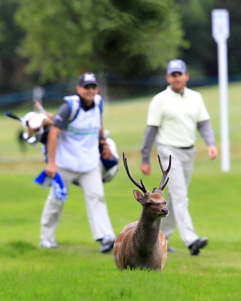 Spain's Ignacio Garrido and his caddy look at a deer as they walk along the third fairway during the third round of the Irish Open held at Killarney Golf and Fishing Club on July 30, 2011 in Killarney. AFP PHOTO/PETER MUHLY (Photo credit should read PETER MUHLY/AFP/Getty Images)