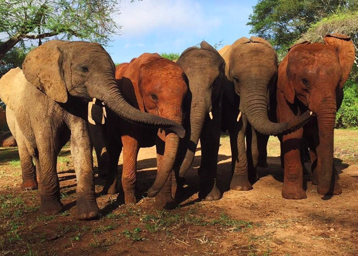 Zongoloni got through her loss with the help of other orphaned elephants (DSWT)