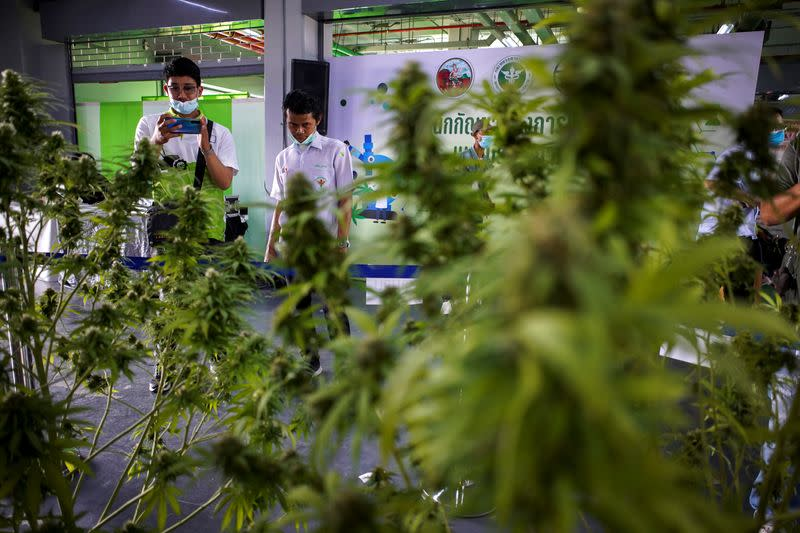 "People take pictures of cannabis plants during the ""360 Cannabis & Hemp for the People"" expo in Buriram province"