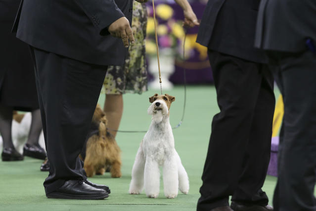 Sky, a wire fox terrier, competes in the terrier group during the Westminster Kennel Club dog show, Tuesday, Feb. 11, 2014, in New York. Sky won the group. (AP Photo/John Minchillo)
