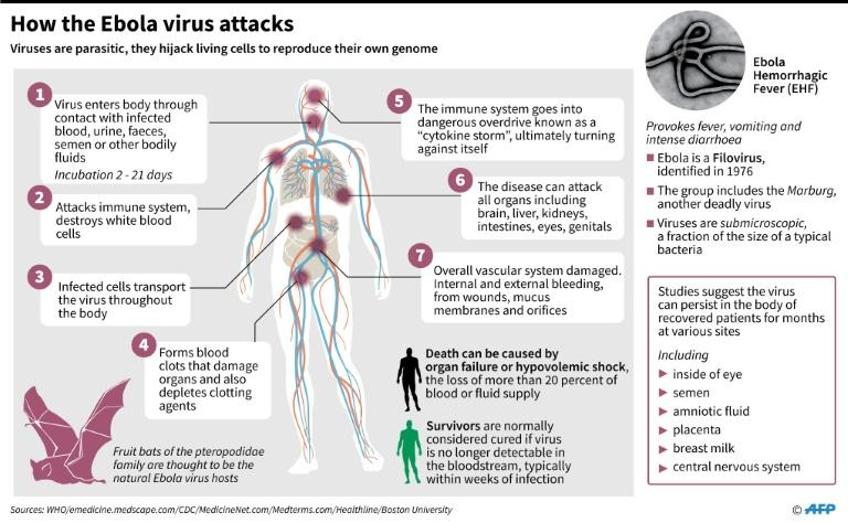Factfile on how the Ebola virus works