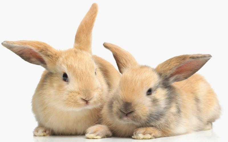 Britain's first pet rabbits were kept by the Romans - Dorling Kindersley