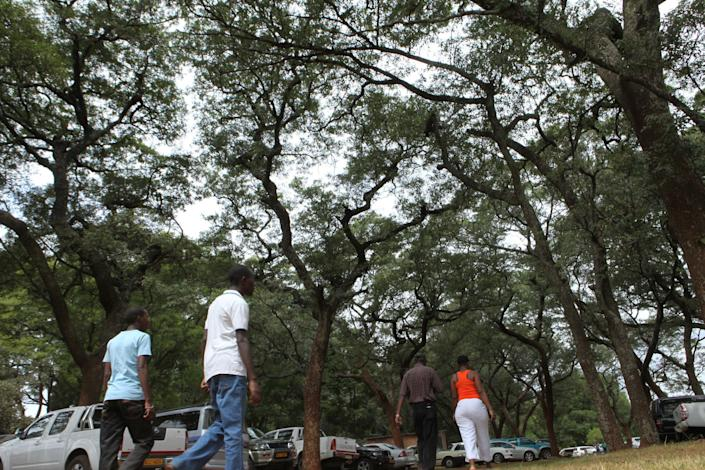 """in this photo taken Monday, June 3, 2013, people walk beneath the indigenous msasa trees at the Royal Harare Golf Club. Club manager Ian Mathieson says a program to cut down """"alien'' trees and replace them with trees """"indigenous"""" to Zimbabwe is well under way. (AP Photo/Tsvangirayi Mukwazhi)"""