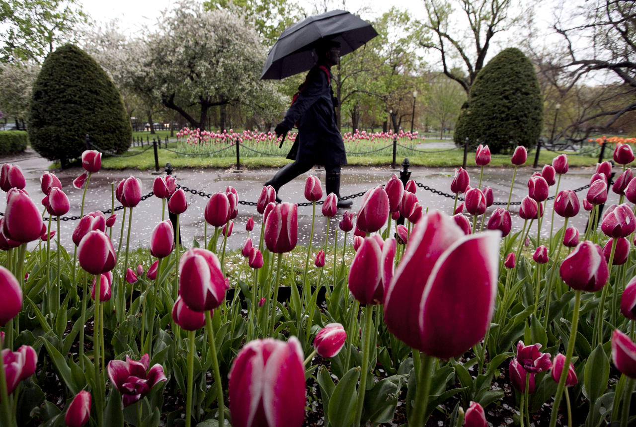 A passer-by uses an umbrella while walking past tulips in the Boston Public Garden, in Boston, Sunday, April 22, 2012. The National Weather Service has said that areas around Boston are likely to see two to three-and-a-half inches of rain from a spring nor'easter that is to pass through the area beginning Sunday. (AP Photo/Steven Senne)