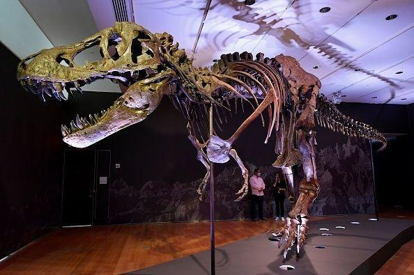 A Tyrannosaurus rex (T-Rex) skeleton, named STAN is on display during a press preview at Christie's Rockefeller Center on September 15, 2020 in New York City. - The skeleton of a 40-foot (12-meter) dinosaur nicknamed