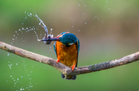 <p>This kingfisher has its meal exactly where it wants it – right in its beak. (Pic: Ian Cook/SWNS) </p>