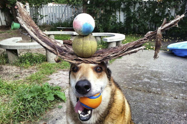 <p>Toby balances bark and balls on his head. (Photo: Pat Langer/Caters News) </p>