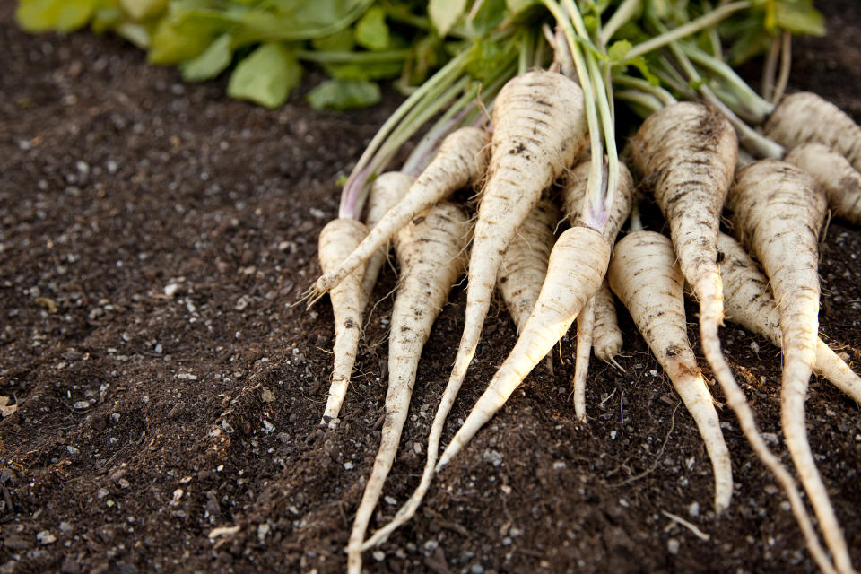 Fresh homegrown parsnips, freshly harvested, laying on a bed of garden soil.