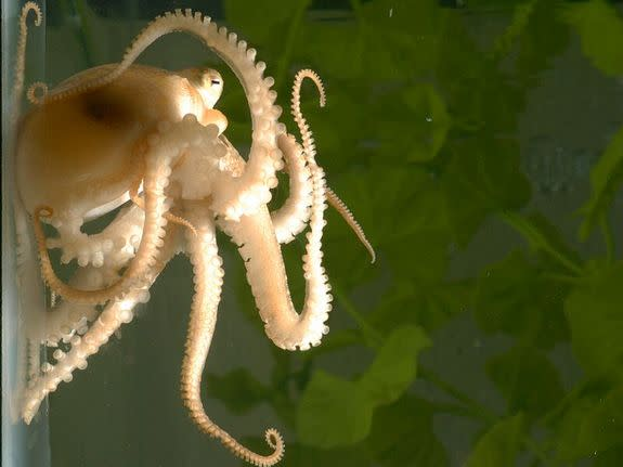 Genes Confirm: Octopuses Are Brainy and Weird