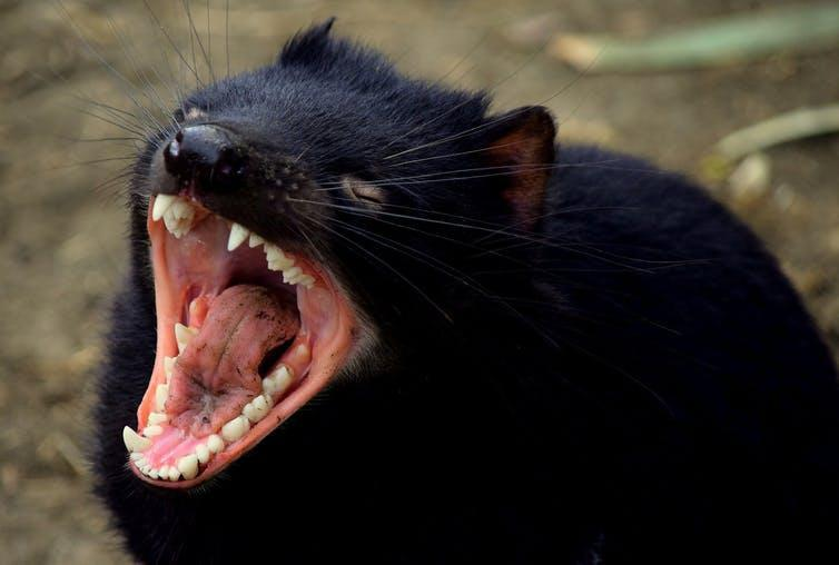 A Tasmanian devil with a wide-open mouth