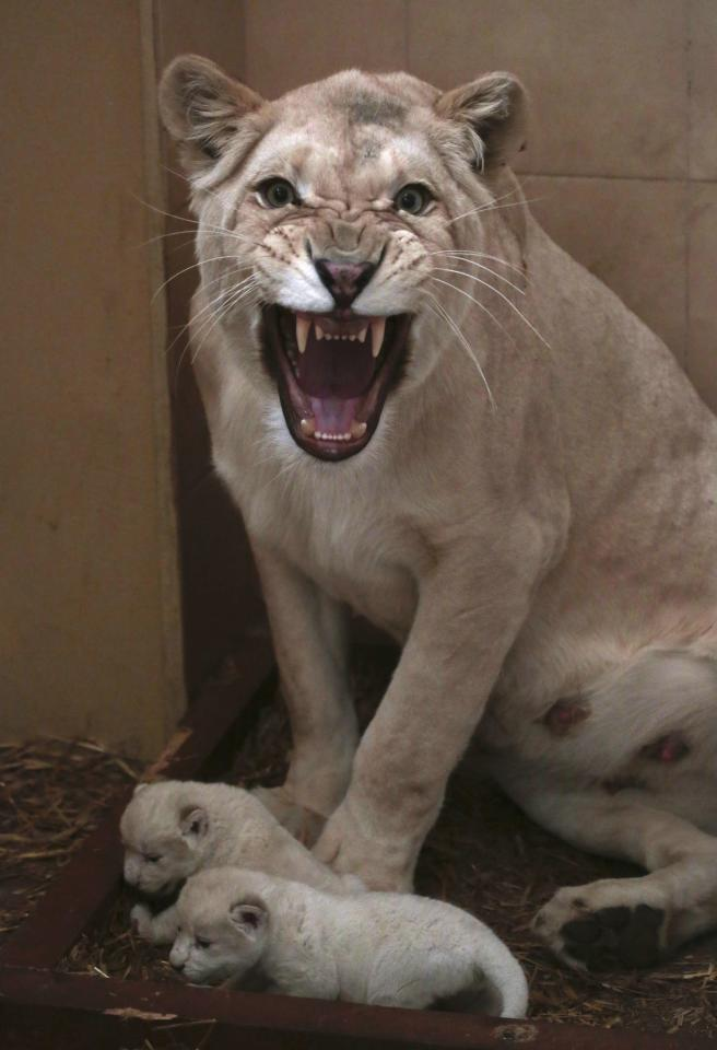 Azira, a white lioness, defends her three newborn lion cubs which were born between January 28 and 29, at a private zoo in Borysew near Lodz, central Poland February 1, 2014. REUTERS/Kacper Pempel (POLAND - Tags: ANIMALS)