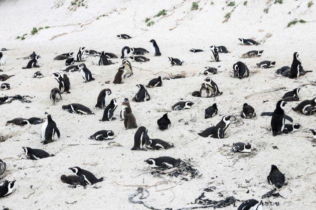 African penguins on the beach at Boulders Penguin Colony, southwest South Africa, April 25, 2021. (Photo: Xinhua News Agency via Getty Images)