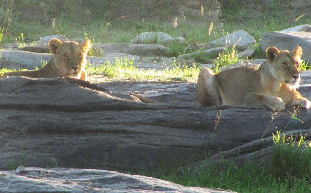 One morning at the beginning of our safari, we came upon these lionesses lounging on a rock. Our guides quickly mentioned that it looked like we were going to have a good day.