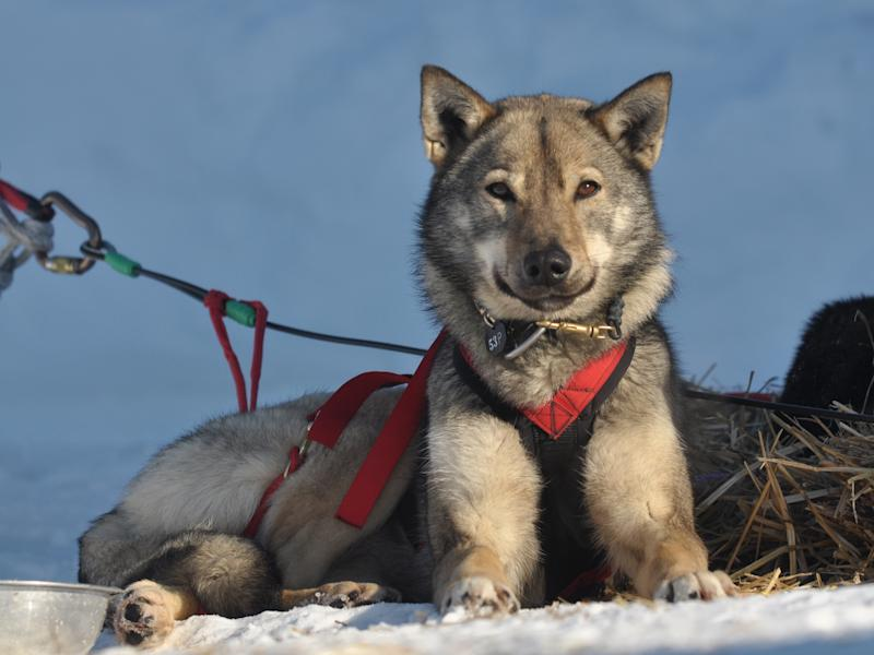 One of Iditarod musher John Baker's dog at the Kaltag checkpoint during the 2011 Iditarod Trail Sled Dog Race Saturday, March, 12, 2011, in Kaltag, Alaska. (AP Photo/The Anchorage Daily News, Bob Hallinen)