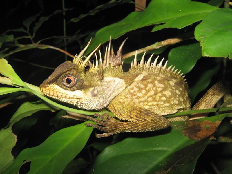A new species of lizard called acanthosaura phuketensis in Phuket (AFP Photo/Montri SUMONTHA)